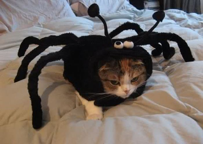 Crazy cat costumes - the spider cat