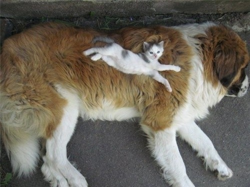 Cat on top of St Bernard