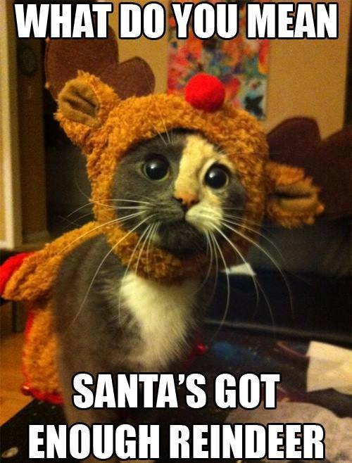 15 Funny Christmas Cats Photos