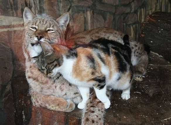 Cat Sneaks Into A Zoo And Becomes Friends With A Lynx 3